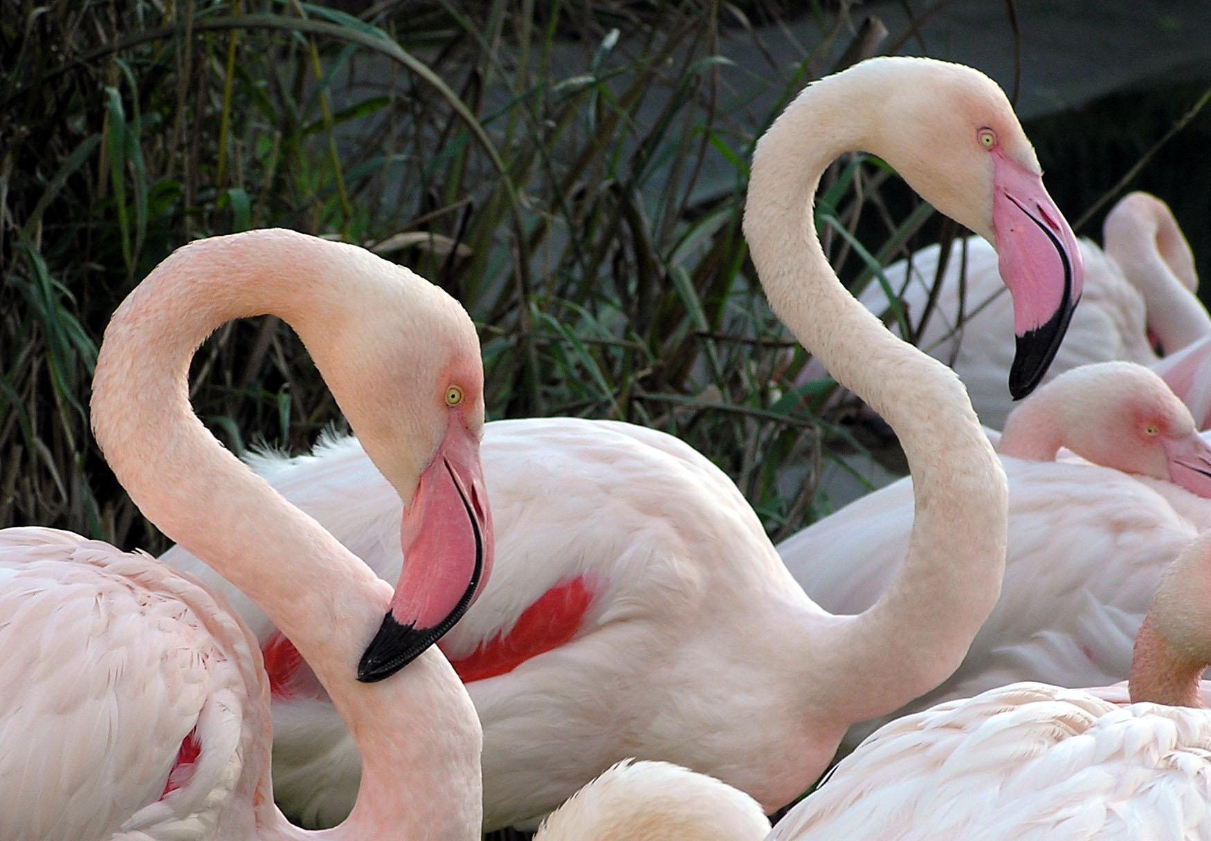 flamingo_arp.jpg
